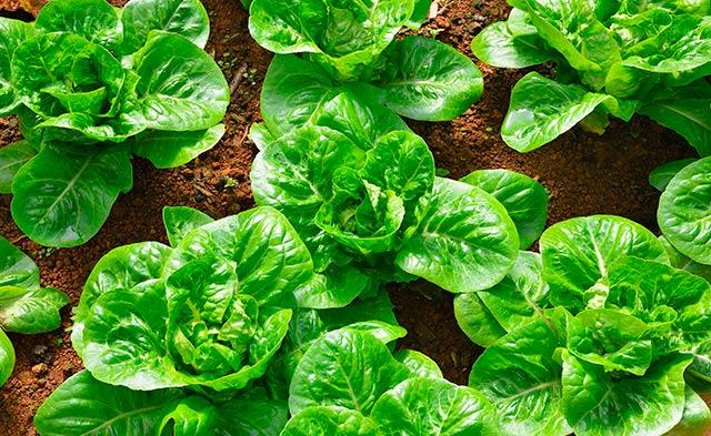 Qué plantar en un cultivo hidropónico